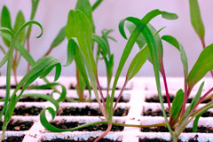 germinated seeds - spinach seedlings