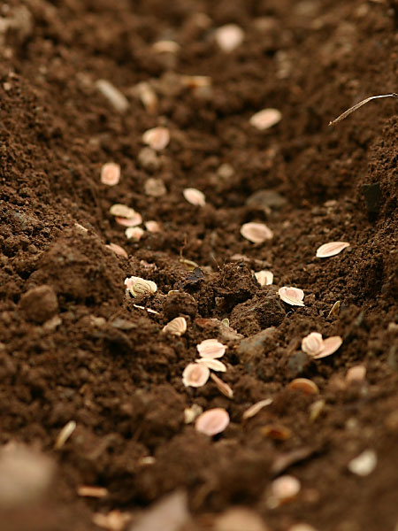 seeds planted in a furrow