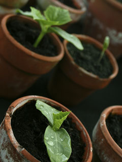 seedlings in clay pots